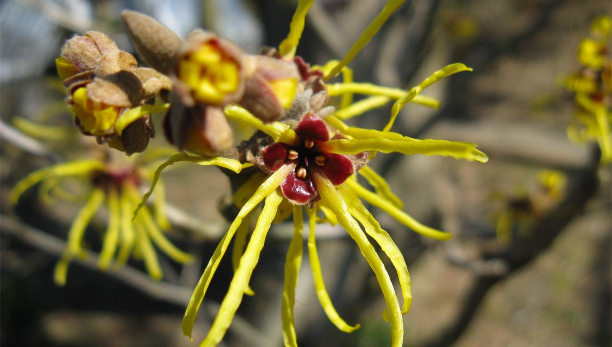 The season of Witch Hazel